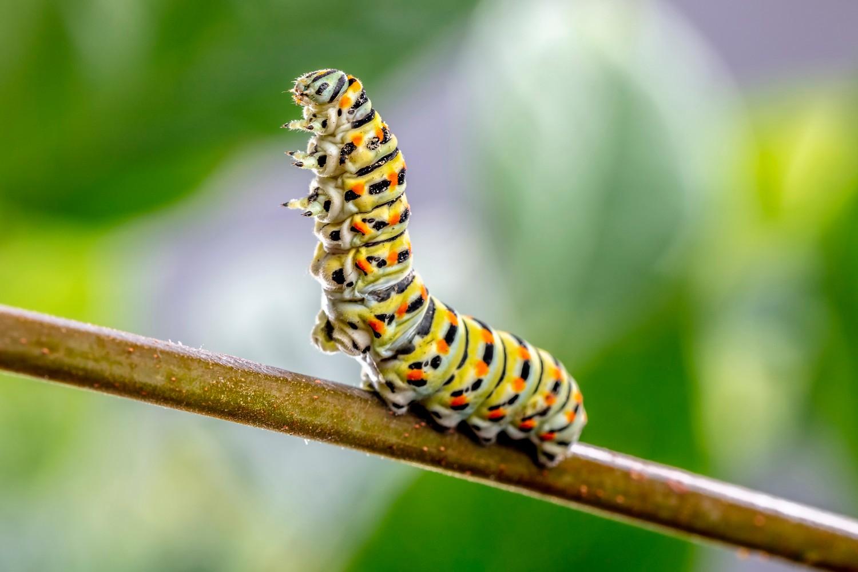 可愛的毛毛蟲竟是造成氣喘甚至過敏性休克的原因!